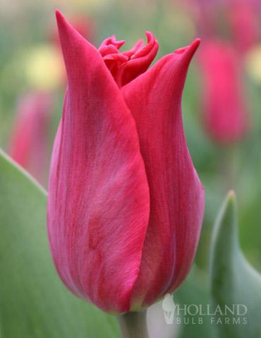 Pieter De Leur Lily Flowering Tulip
