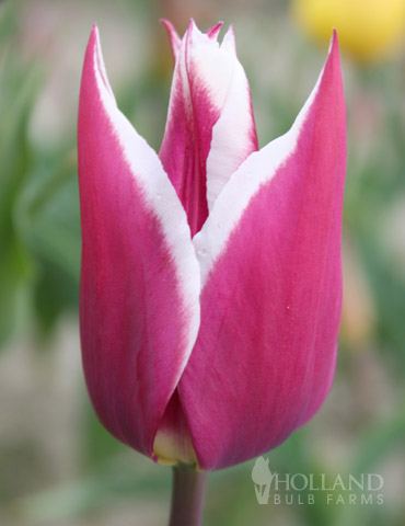 Claudia Lily Flowering Tulip