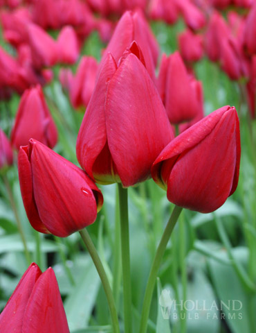 Merry Go Round Bunch Flowering Tulip