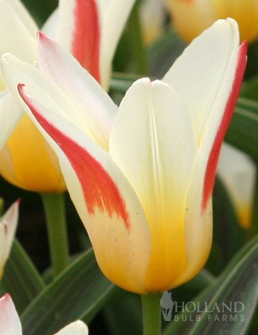 Johann Strauss Kaufmanniana Tulip - 88232