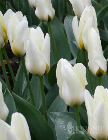 Concerto Greigii Tulip