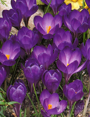 Ruby Giant Specie Crocus