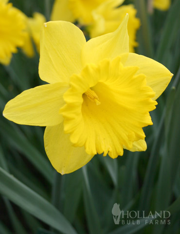 Dutch Master Daffodil - 82108