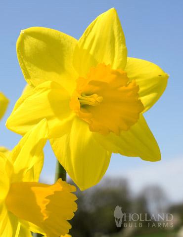 Fortune  Daffodil Jumbo Pack
