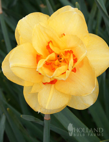 Tahiti Daffodil - 82126