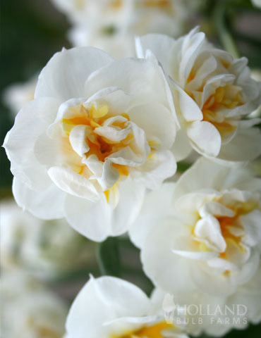 Bridal Crown Daffodil