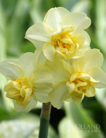 Yellow Cheerfulness Daffodil Jumbo Pack - 82132
