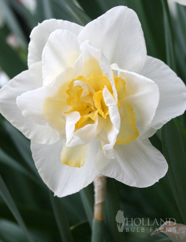 White Lion Double Daffodil - 82142