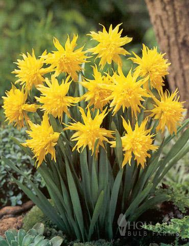 Rip Van Winkle Specie Daffodil