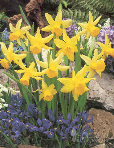 Rapture Miniature Daffodil - 82146