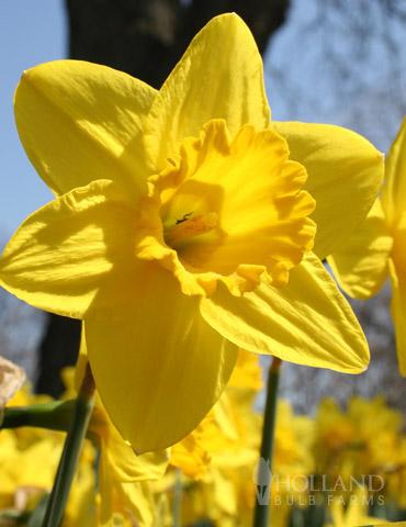 Gigantic Star Daffodil