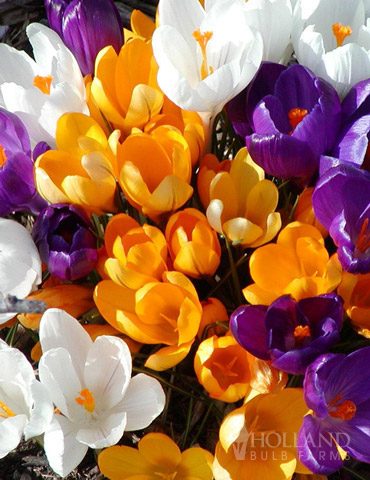 Giant Mixed Crocus