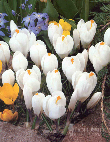 Jeanne d' Arc Giant Crocus - 83113