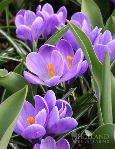 Grand Maitre Giant Crocus