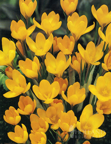 Yellow Giant Crocus