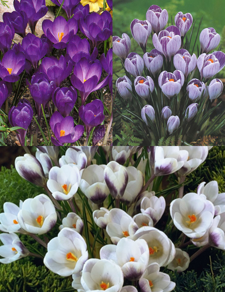 Purple Blend of Crocus Collection