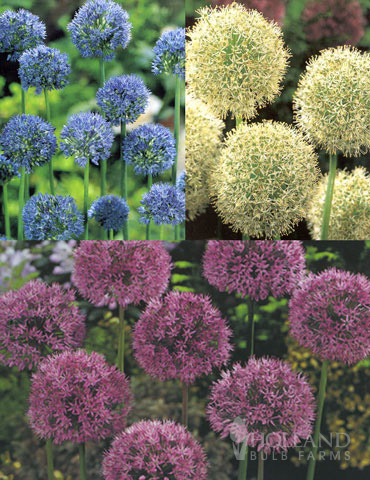 Beautiful Mix of Allium Collection allium bulbs for sale, purple allium, white allium, blue allium, allium care, allium bulbs for sale near me, allium varieties, purple sensation allium bulbs, flowers shaped like balls,