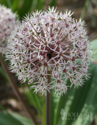 Ivory Queen Allium - 81118