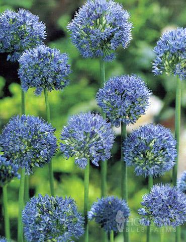 Blue Allium (or Azure Allium) - 81121
