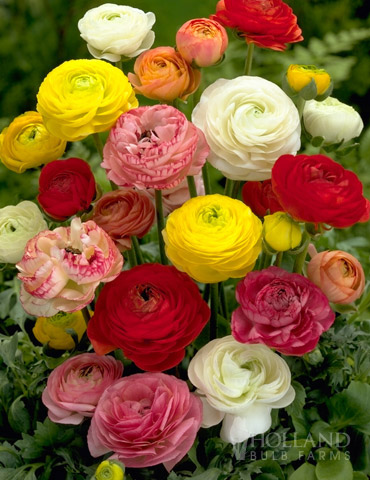 Mixed Ranunculus or Buttercup