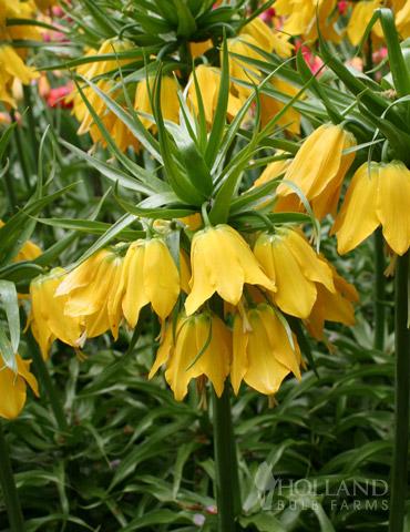 Lutea Yellow Fritillaria