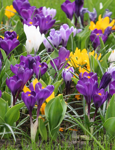 Mixed Giant Crocus Value Bag (40 bulbs)