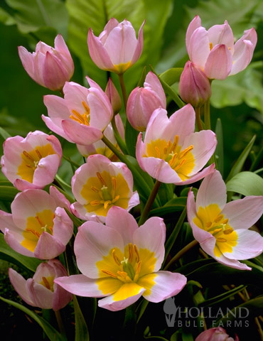 Lilac Wonder Botanical Tulip Jumbo Pack