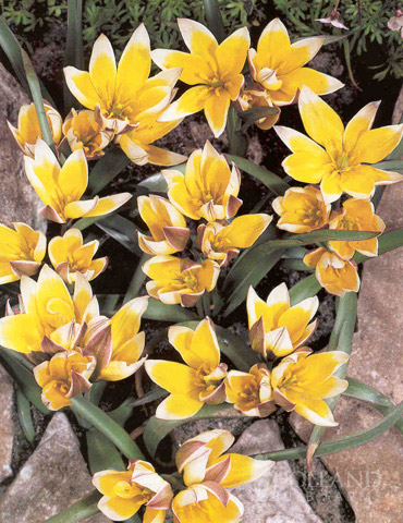 Tarda Botanical Tulip