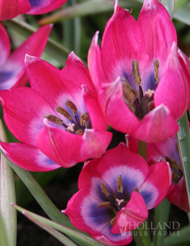 Little Beauty Botanical Tulip - 88271