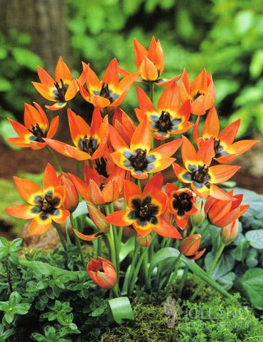 Little Princess Botanical Tulip