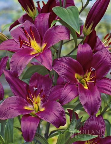 Purple Prince Orienpet Lily