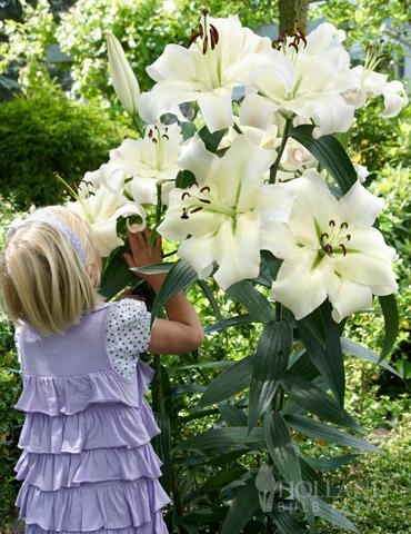 Pretty Woman Orienpet Lily