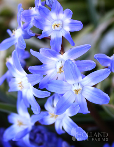 Glory Of The Snow or Chionodoxa