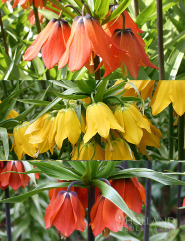 Frantic for Fritillaria Collection
