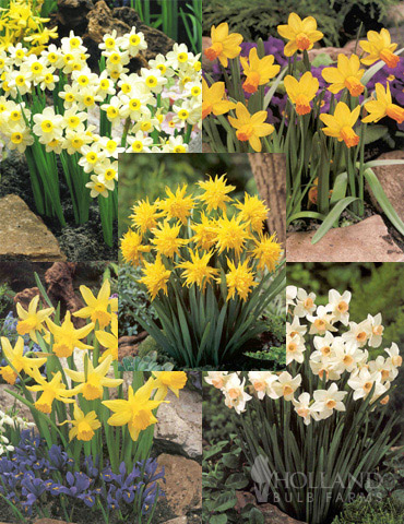 Dwarf Rock Garden Daffodil Collection