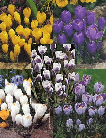 Charming Crocus Collection