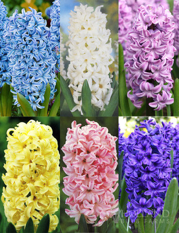 Pastel Mix Hyacinth Collection