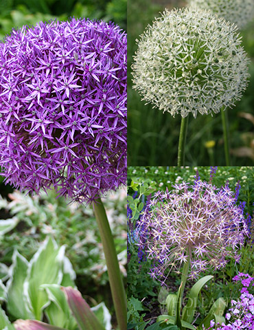 Colossal Allium Collection