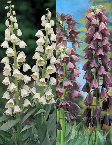 Purple and White Fritillaria Collection