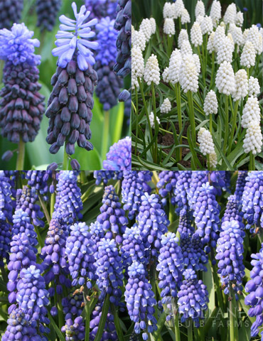 Must Have Muscari Collection - 83138