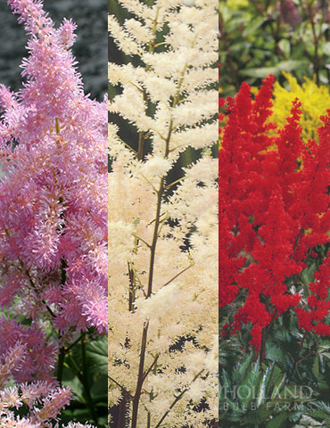 Astilbe Collection - 77315