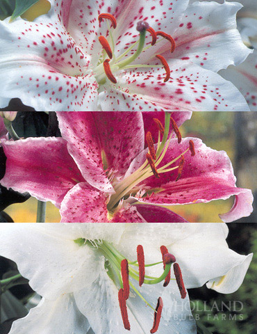 White Stargazer Lily Collection white stargazer lily bulbs, white oriental lilies, lily bulbs for sale, stargazer lilies, fragrant lilies, flowers, muscadet lilies, fragrant flowers