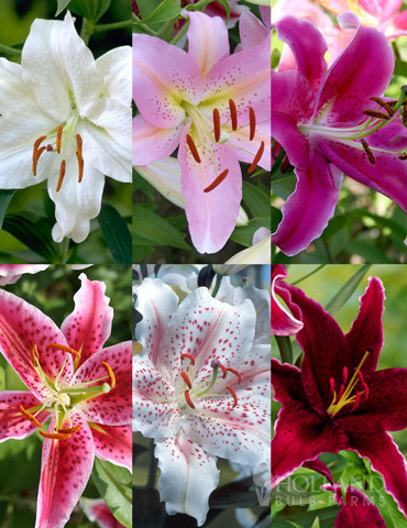 Jumbo Fragrant Lily Collection