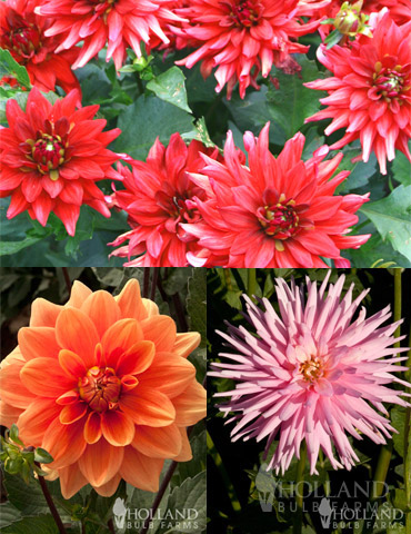 Border Dahlia Collection