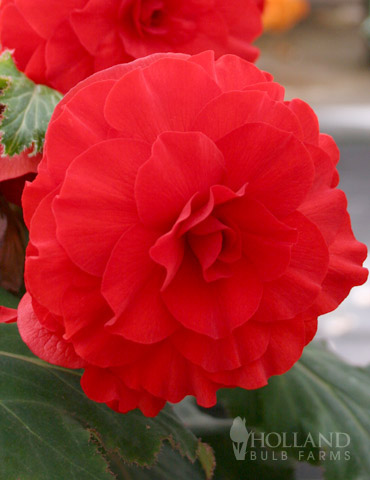 Red Double Begonia - 71102