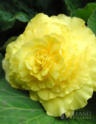 Yellow Double Begonia