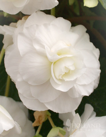 White Double Begonia - 71105