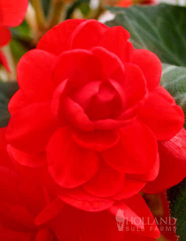 Scarlet Double Begonia - 71106