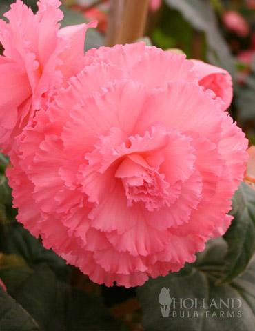Ruffled Pink Begonia