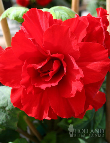 Ruffled Red Begonia